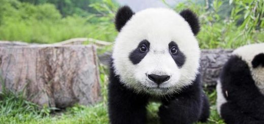 adopter un panda