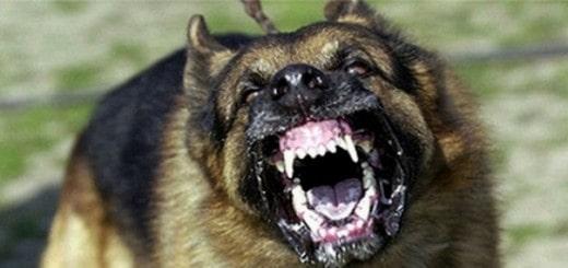 calmer chien agressif
